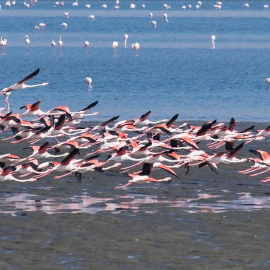 Flamands roses - Namibie - 2018