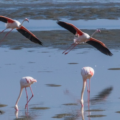 Flamands roses - Namibie -2018