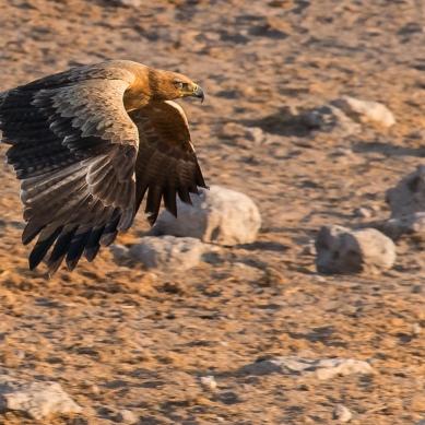 Aigle - Namibie - 2018