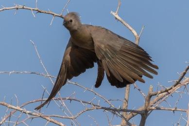 Touraco concolore - Namibie - 2018