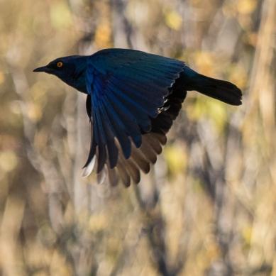 Bulbul brunoir - Namibie - 2018