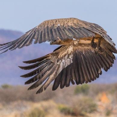 Vautour - Namibie - 2018