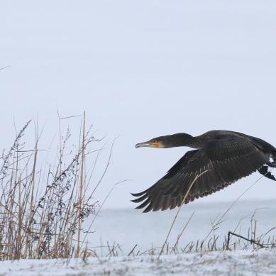 Grand cormoran - Matheysine - 2019